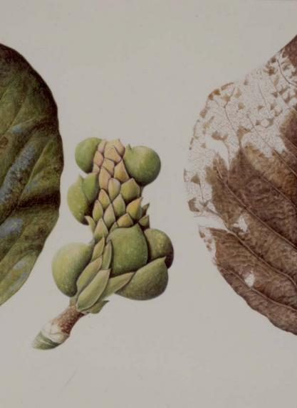 Magnolia Leaves & Fruit