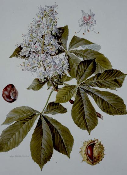 Horsechestnut with flowers & conkers