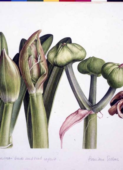Hippeastrum buds and seed capsule