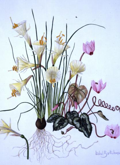Narcissus with Cyclamen coum